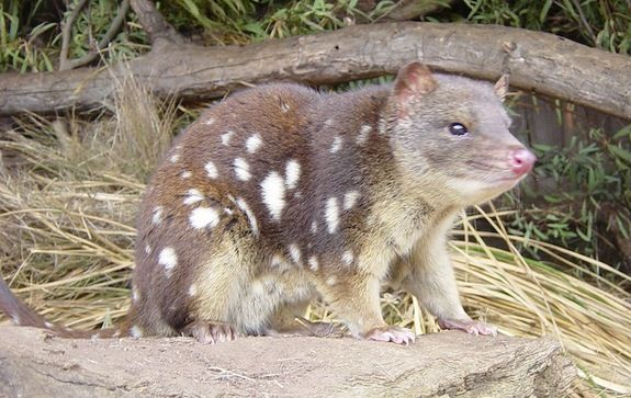 Joining the bandicoot in the ranks of strangely-named marsupials is the quoll. These cat-sized creatures prey on other small mammals, including rabbits and opossums. #Australia #bandicoot Australian Discount Club support bandicoots http://www.kangadiscounts.com