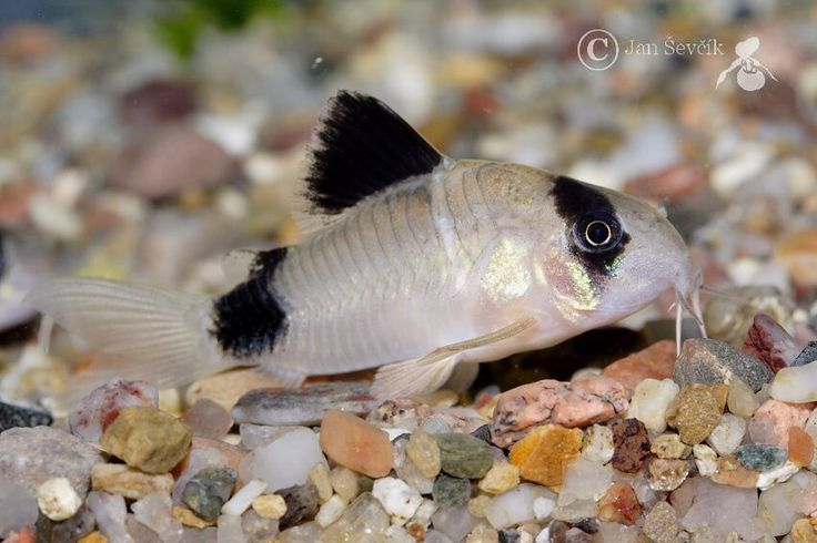 850 567 panda cory fish pinterest for Cory cat fish