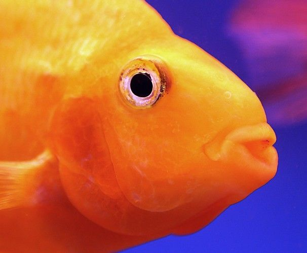 A goldfish for sale swims in an aquarium at a market in Kuwait City.