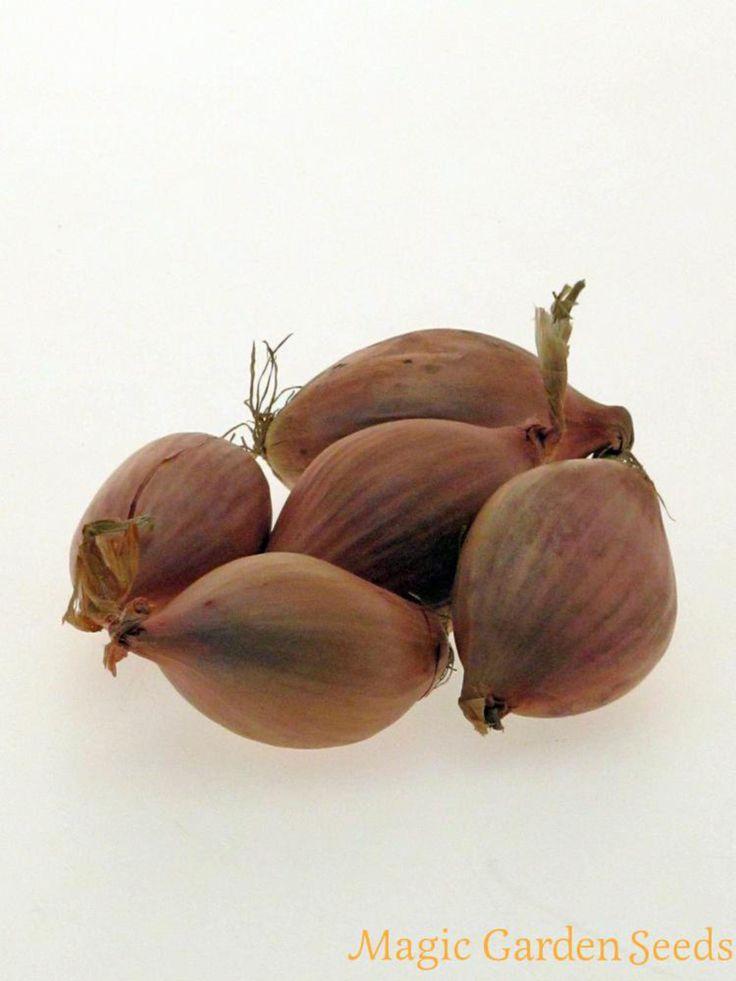Die Schalotte 'Zebrune' ist eine samenfeste Sorte aus Frankreich. Allium ascalonicum Samen jetzt bei Magic Garden Seeds erhältlich. Der Online Sämereien Versand für ethnobotanische Raritäten und alte Gemüsesorten.