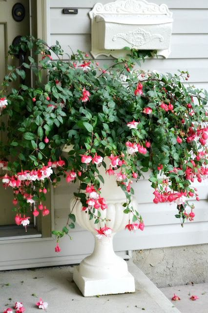 Fuchsia in an urn= again could be two pots