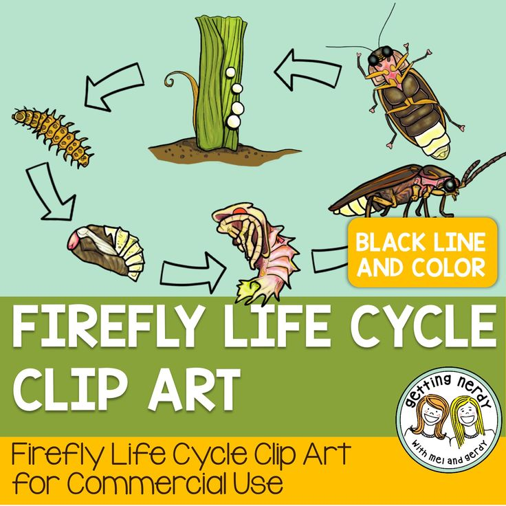 cricket life cycle diagram apollo 65 base wiring firefly fireflies cycling and middle school science