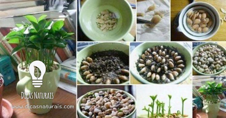 Como plantar um limoeiro para perfumar a sua casa