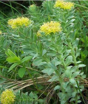 Can rhodiola cause anxiety
