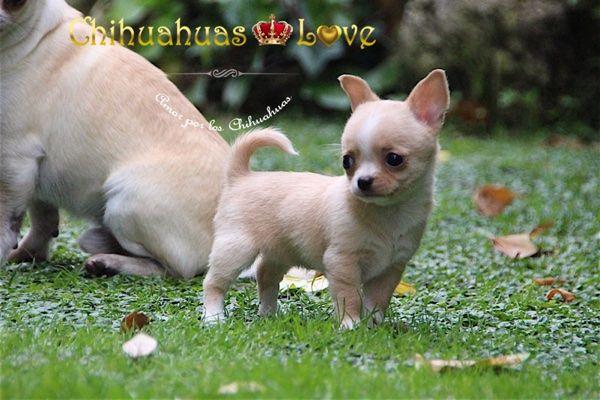 Chihuahuas Love - Fotos y Videos de Chihuahuas. Cada Cuantos Dias Tomo Fotos y Videos Nuevos.