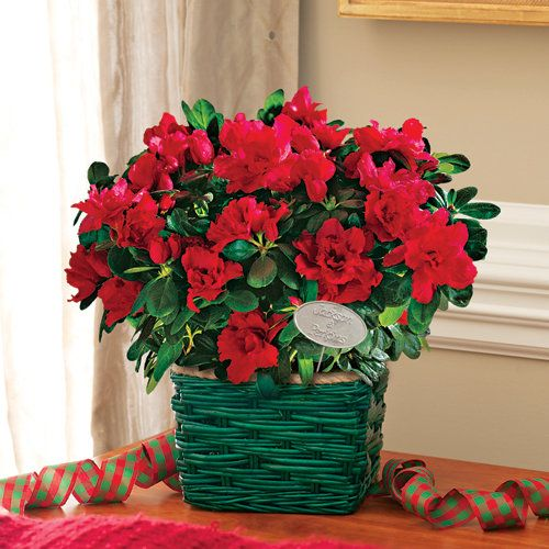 Everblooming Azalea Gift:  This festive arrangement spreads such joy, reblooming several times throughout the year, presenting you with red to pink-red blooms. This traditional Christmas flower has a lovely difference, often sporting orange or pink highlights. It is easy to grow and will bloom repeatedly throughout the holiday season. - This product is no longer available, however click the image to see this year's Flowering Gift Plants!