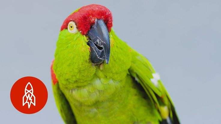 America Once Had a Native Parrot Population