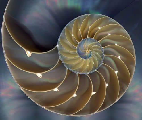 The Golden Mean In The Chambered Nautilus She..