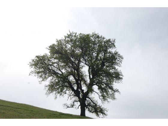 oak tree memorial day sale
