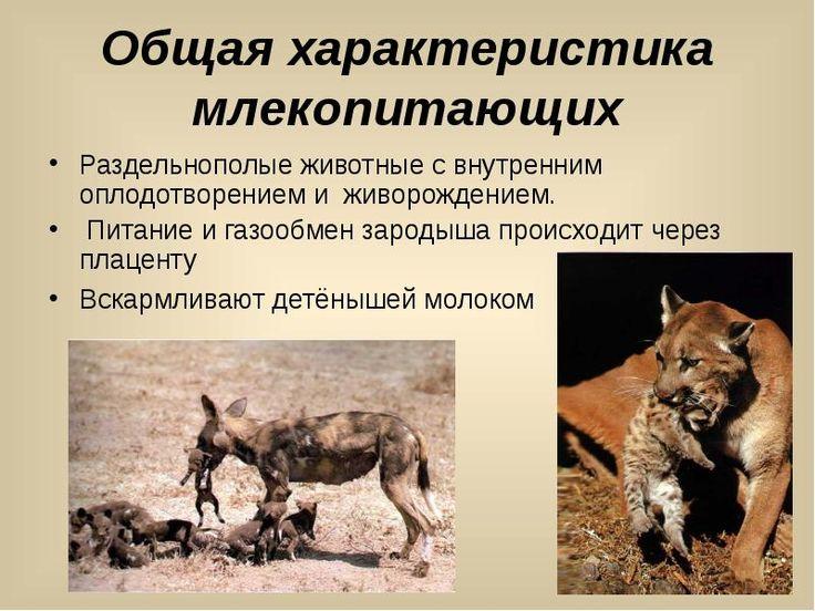 Класс Млекопитающие или Звери - презентация к уроку Окружающий мир_