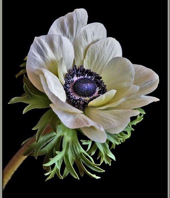Reference Botanicalinspiration In 2020 Anemone Flower Amazing Flowers Flowers