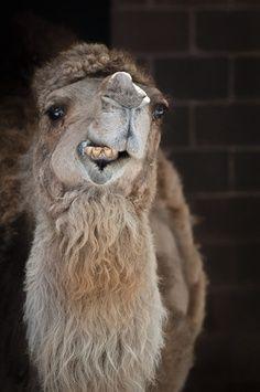 camel/or lama?