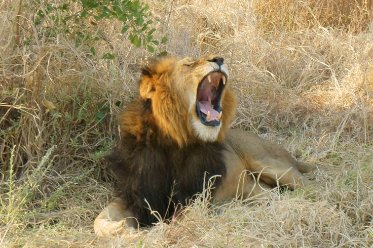 Big yawn from the king of the jungle