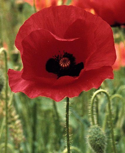 Red Poppy - 11/11