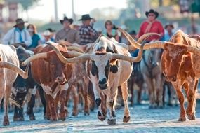 Fort Worth, TX.Daily Fortworth, Cattle Drive, Drive Texas, Daily Forts, Longhorns Cattle, Stockyards Cattle, Fortworth Herd, Worth Stockyards, Forts Worth