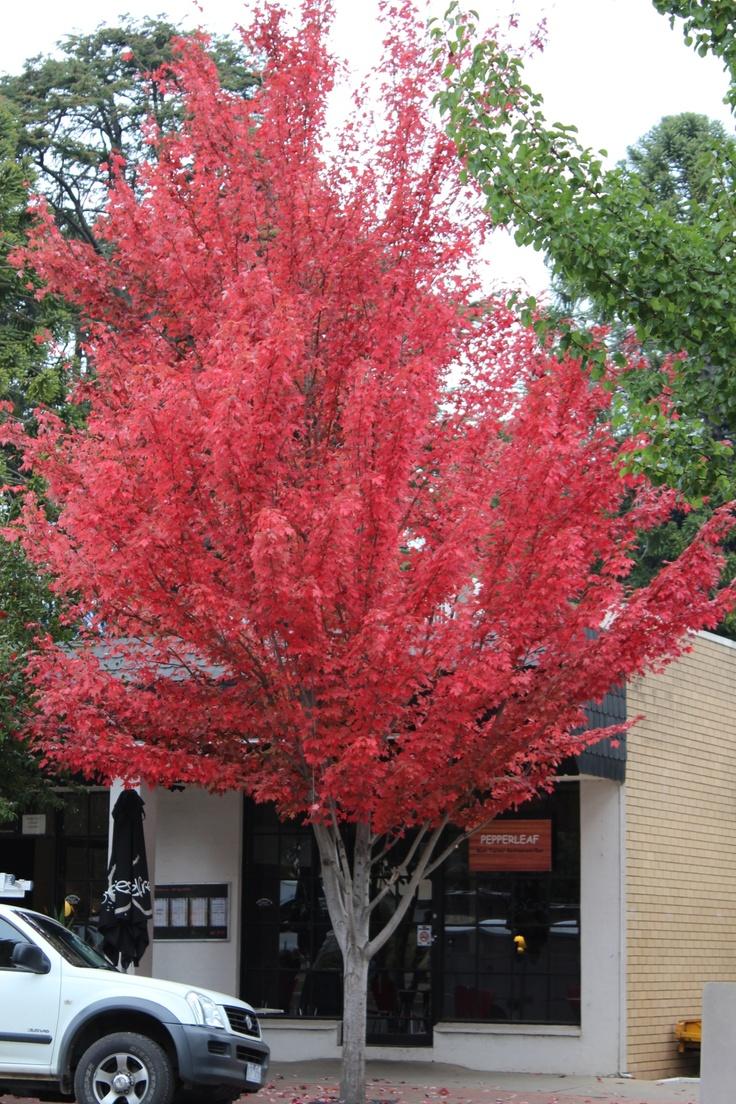Autumn Tree Bright VIC Australia