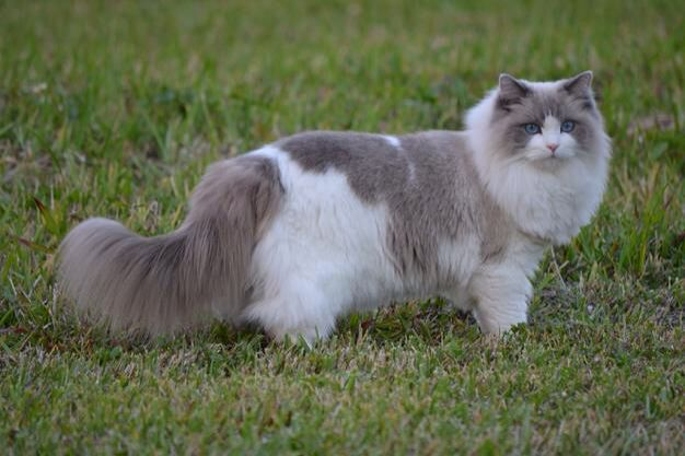 Another stunning Bluepoint Bicolor Ragdoll cat. Ragdoll cats SHOULD be indoors only!