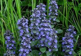 Ajuga reptans - kruipend zenegroen Kenmerken Planttype: vaste plant Gebruik: bodembedekker, groep, grote groep, middelgrote groep Habitat: open plaats of bosrand, met frisse of vochtige bodem Groeihoogte: 5 - 20 cm Bijzondere kenmerken Bloemkleur: paars, blauw Bloemen: volle aren, tot 20 cm hoog Bloemkleur: blauw, lichtblauw, paarsblauw Bloeiperiode: mei - juni Bladeren: ovaalronde gelobte blaadjes in paren aan de stelen Bladkleur: donkergroen Bladhoudend / verliezend: bladhoudend…