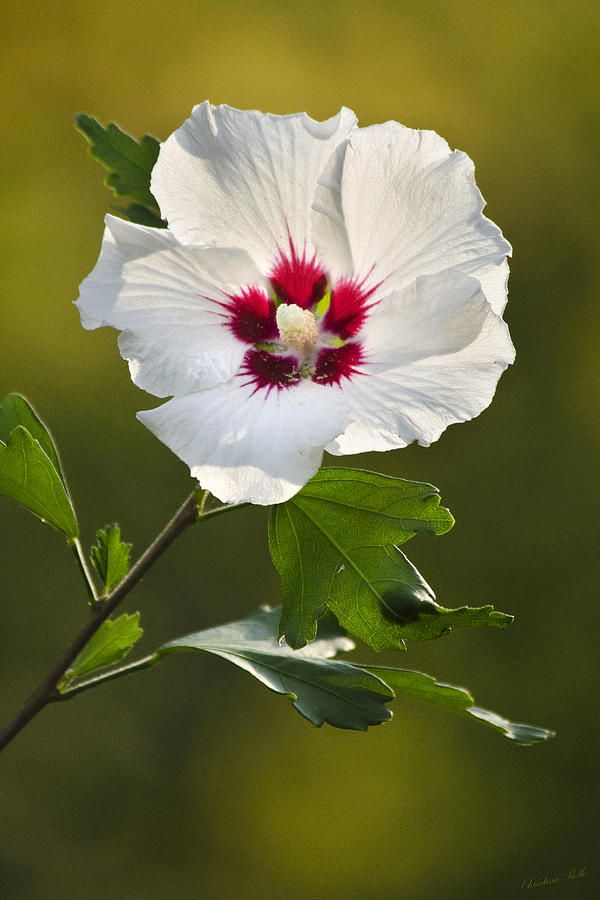 Rose Of Sharon .... Beautiful  flowering bush and trees.  Summer bloomer and does great in Southern Idaho.  YEA!