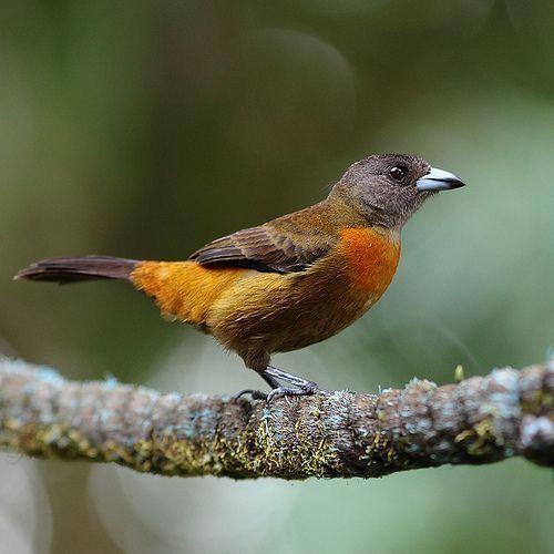 Costaricaanse Tangare - Cherrie's Tanager (Ramphocelus costaricensis)