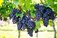 Cómo cultivar uvas en tu casa - Notas - La Bioguía