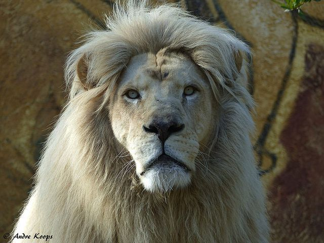 White Lion - Zoo Amneville