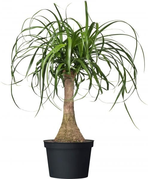 Beaucarnéa (Beaucarnea recurvata) : entretien, arrosage
