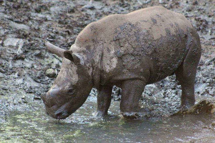 Happy as a rhino in mud !!