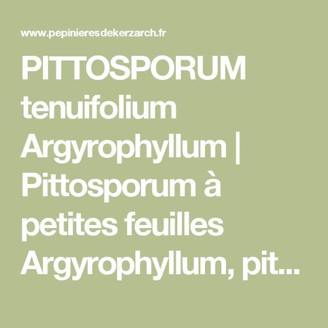 PITTOSPORUM tenuifolium Argyrophyllum | Pittosporum à petites feuilles Argyrophyllum, pittospore, Tawhiwhi | Pépinière en ligne de Kerzarc'h