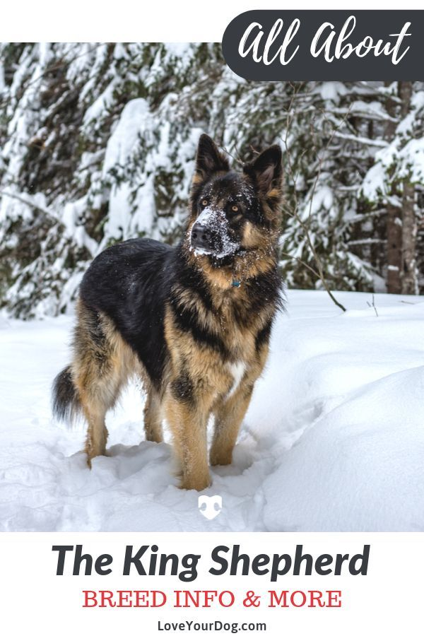 King Shepherd Breed Information Temperament Puppy Prices More