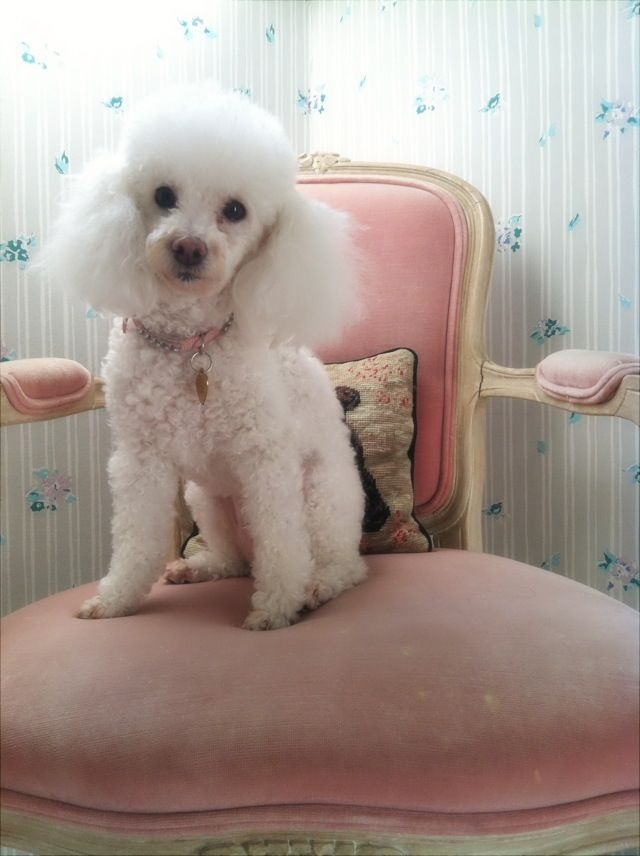 This is the closest dog I can find that looks the most like my only pet:Fifi