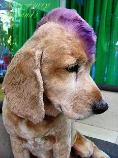 DIY pet hair dye.( washable) Simple and ok to use on animals! -I think this would work well with people too