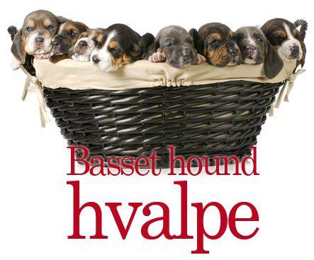 Basset Hound - Med sit sørgmodige ansigt og store øjne, ser Bassett hunden for sløv ud til at være den effektive jæger den er. #hunde #hvalpe - www.petdreams.dk