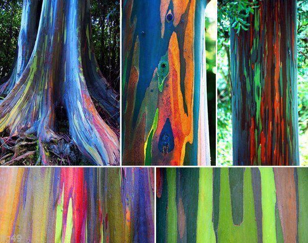 *RAINBOW TREE* 5 seeds *(Eucalyptus deglupta)* Mindanao Gum* #1303