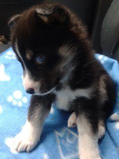 I never wanted a designer dog until I discovered pomsky puppies.