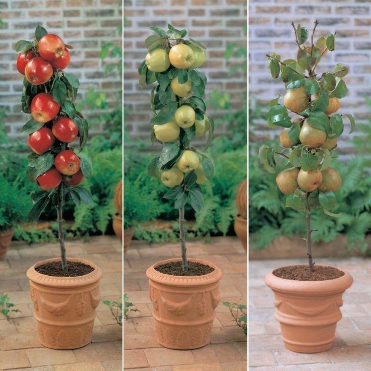 Cómo cultivar frutales en columnas en patios o balcones