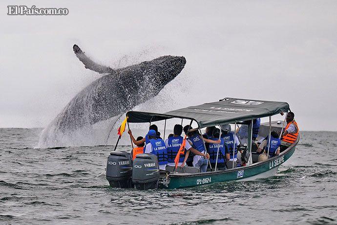 Avistamiento de ballenas en el Pacífico se extenderá hasta noviembre. Bajo estrictas normas de seguridad, los turistas podrán disfrutar del espectáculo natural, como se evidencia en esta excelente foto de nuestro reportero gráfico Jorge Orozco, en lugares como Juanchaco, Ladrilleros y La Barra. Detalles: http://www.elpais.com.co/elpais/valle/noticias/avistamiento-ballenas-pacifico-colombiano-extendera-hasta-mes-noviembre