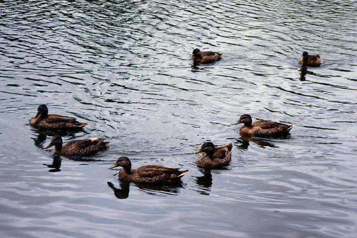 Ducks on Te Ko Utu lake - selah.homedisciples.com