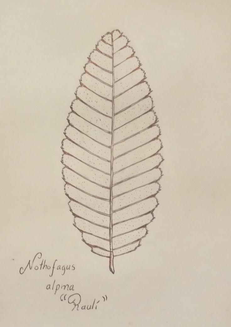 Nothofagus alpina