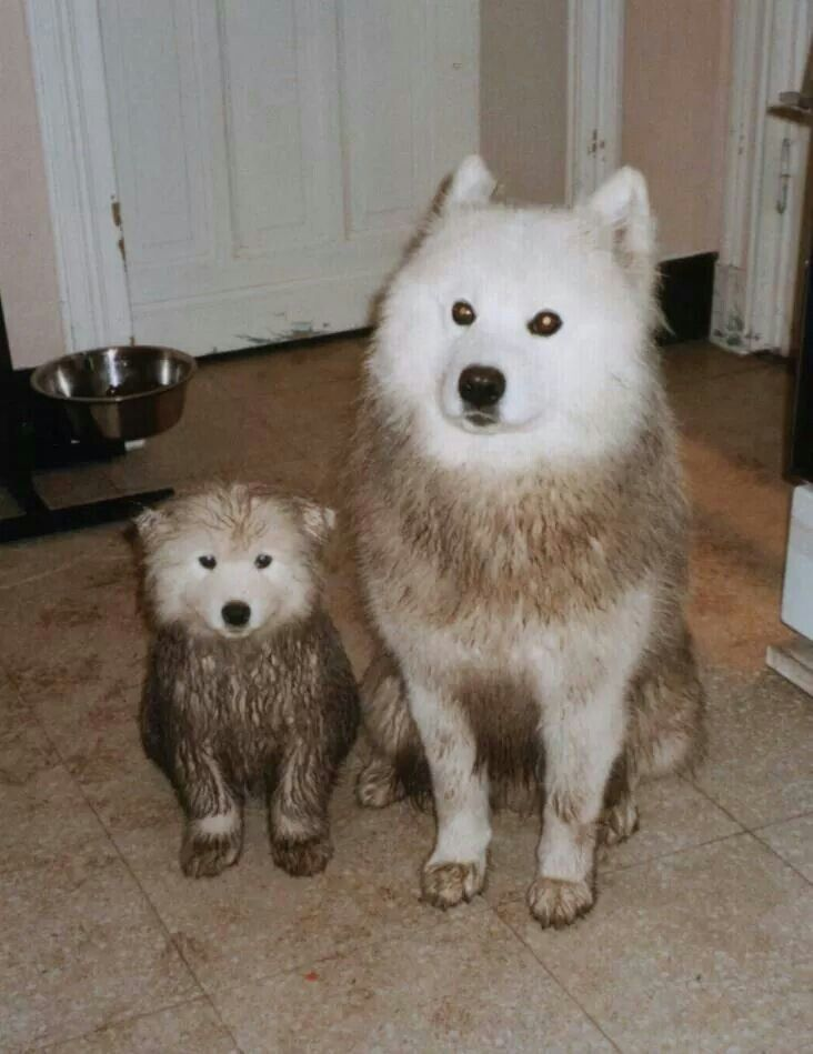 A familiar sight with my Samoyeds...