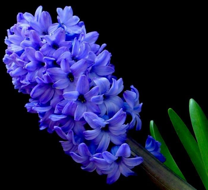 Purple hyacinth flower pictures