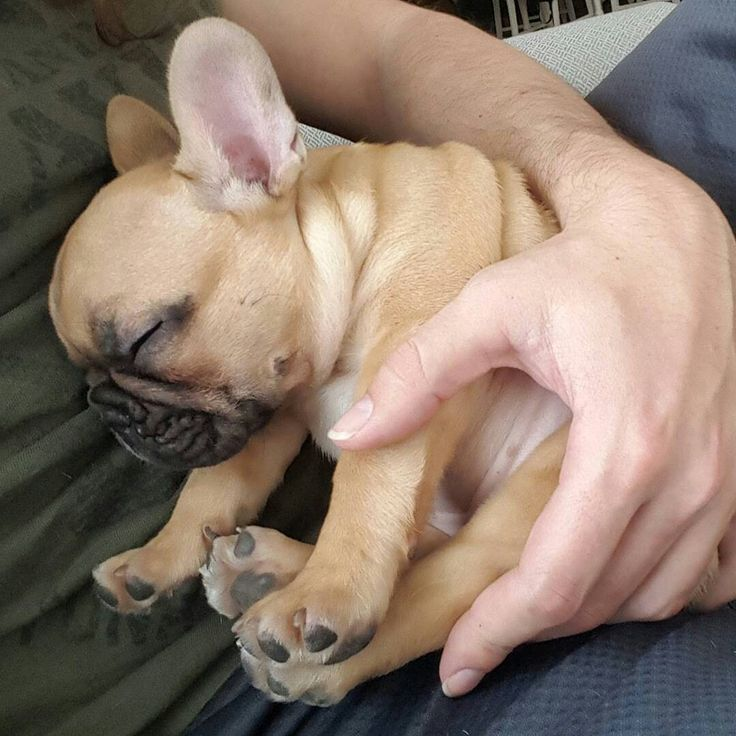 Sleepy morning ☁ ™ @little_marcel_frenchie