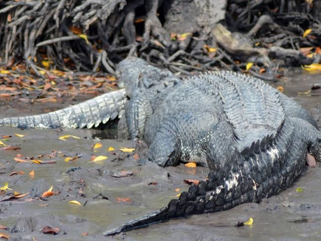 A 4.5m saltwater crocodile eats another smaller croc at Snake Bay. Picture: Warren Smith