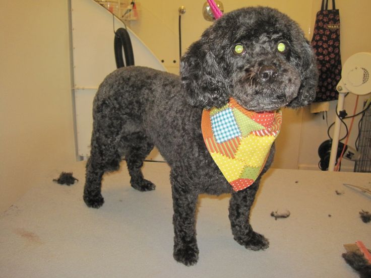Toy Poodle Kennel Cut by Jodi Watson