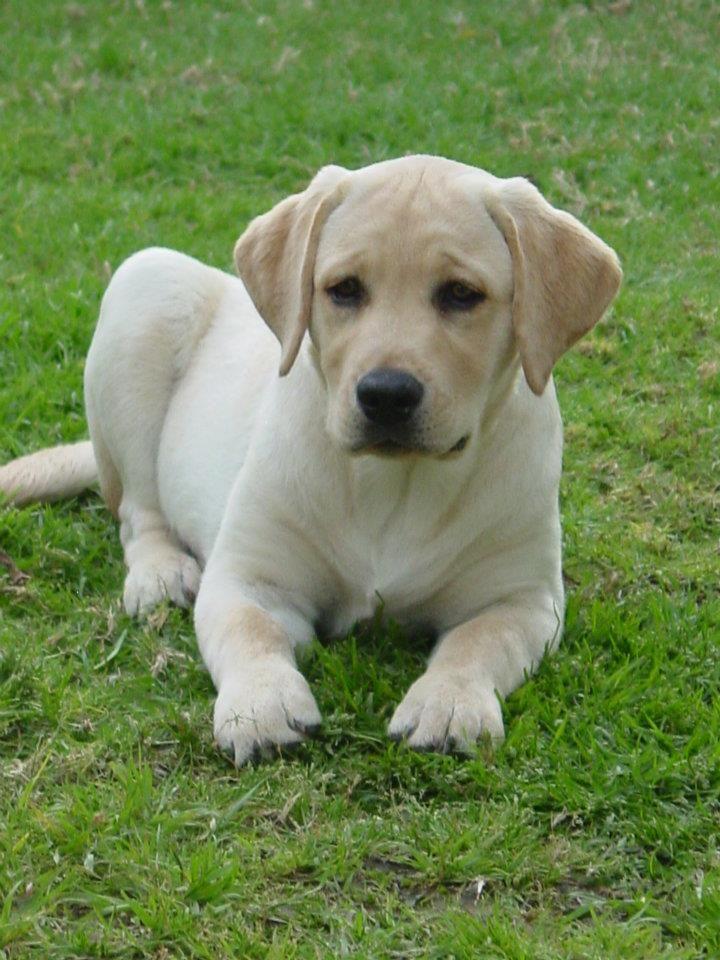 Penny! Purebred yellow labrador retriever