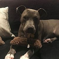 Pictures Of Willa A American Pit Bull Terrier For Adoption In New York Ny Who Needs A Loving Home Save The Animals Available For Adoption Tierheim N