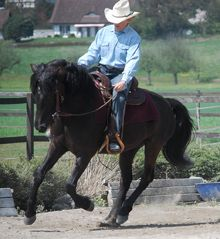 morgan horses pictures - Google Search