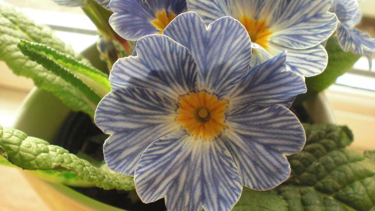 Primula - www.Gartneriet-Landstedet.dk