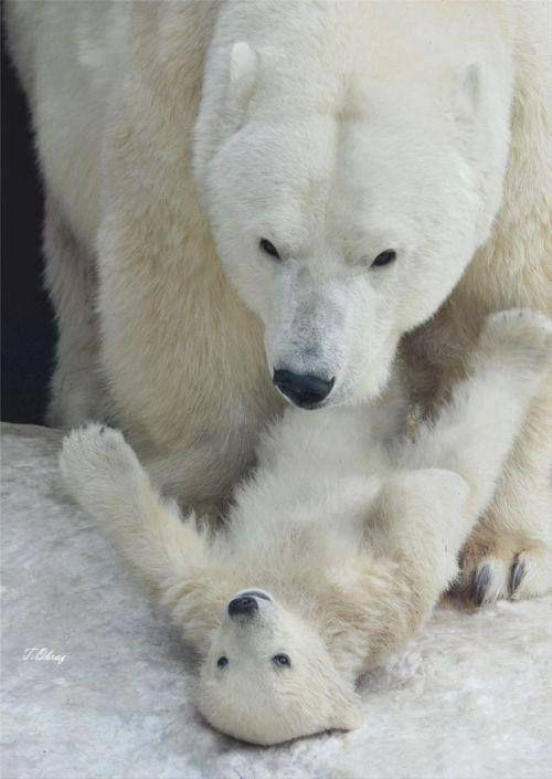 Mama and baby Polar Bears