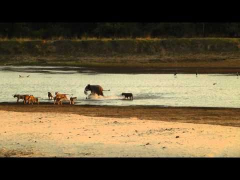 Baby elephant survives attack by 14 lions. This is definitely worth a watch! So inspirational!